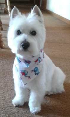 Jake Back from groomers Baby Dogs, Dogs And Puppies, Chihuahua Dogs, Doggies, Pet Dogs, Highlands Terrier, West Highland Terrier, Jiff Pom, Baby Animals