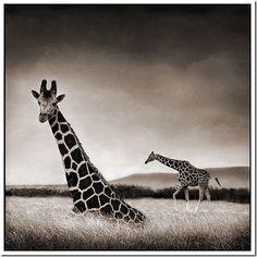 Giraffe in Tall African Savannah Grass.