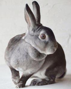 Mila #kanin #kaniner #kaninen #rabbit #rabbits #bunny #kaninhop #jumpingrabbit #lillerex #minirex #kaninavler #kaninavl #avl #minilop #animal #animals #dyr #pels #fur #rabbitfur #kaninpels #mitliv #minhobby #bunnystagram #kaninchen by staldninerne