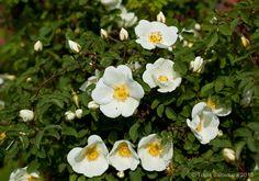 Juhannusruusu, Rosa pimpinellifolia 'Plena'