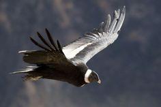 El Cóndor - Pájaros argentinos