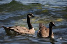 Duck, Ducks, Water, Sunny, Canada, Instant Download Nature Photography by OrangePeelPaperie on Etsy