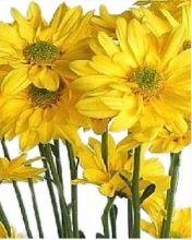 Yellow Daisy Spray Mums, #Chrysanthemums