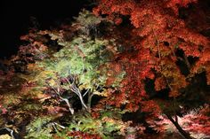 night Japanese red maple tree background