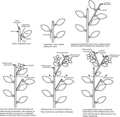 Plant anatomy and growth