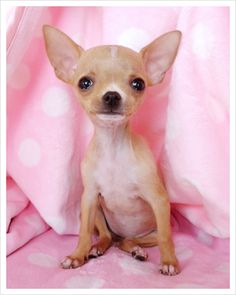 Someone PLEASE find me one of these PLEASE... <3 teacup / applehead chihuahua