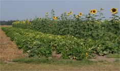 Horticultural Sciences - University of Florida, Institute of Food and Agricultural Sciences - UF/IFAS Agricultural Science, Garden Projects, Garden Tips, University Of Florida, Sunflower Seeds, Country Life, Farmer, Exotic, Organic
