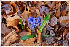 #EssenReisenLeben #Frühling #Blaustern