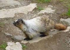 Marmot in Rocky Mountains on the trail.
