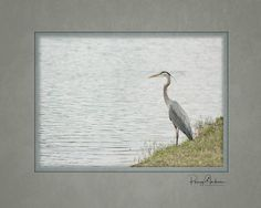 Great Blue Heron Pet Photography, Blue Heron, Pets, Painting, Animals And Pets, Painting Art, Paintings, Draw