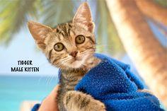 Tigger a Brown Tabby Kitten for Adoption