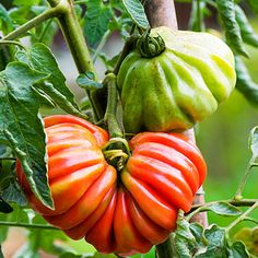 'Pink Accordion' tomato    Its pleated shape resembles a satin evening clutch. A great tomato to stuff.