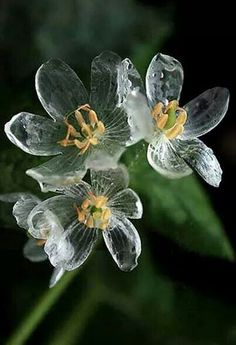Say hello to the Skeleton Flower, a white woodland blossom whose petals turn crystal clear when they make contact with water. Diphelleia grayi, the scientific name of the Skeleton Flower, can be found in only three parts of the world. Unusual Flowers, Unusual Plants, Rare Flowers, Amazing Flowers, Pretty Flowers, Glass Flowers, White Flowers, Prettiest Flowers, Strange Flowers