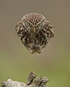 Little Owl by Russell Savory