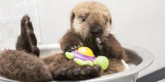 """Chicago's Shedd Aquarium clearly has a star on its hands. The facility took in a  young, orphaned southern sea otter. Dubbing her """"Pup 681"""" for now, with Shedd employees provide her round-the-clock care."""