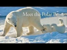 Winter Science Activities: Polar Bear Video: National Geographic: Meet the Polar Bear - YouTube #sciencepenguin #science #penguin #polar #bears