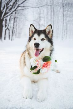 Husky winter wedding floral dog collar Photography www. Cute Baby Animals, Animals And Pets, Funny Animals, Beautiful Dogs, Animals Beautiful, Le Husky, Snow Dogs, Golden Retriever, Cute Dogs And Puppies