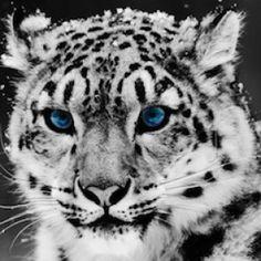 Snow Leppard - blue eyes