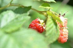 Raspberries Summer berries nostalgia Garden Home by MarinaLie