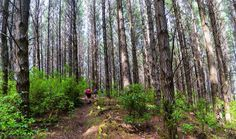 I wanted to capture these brilliant pine trees we were amongst; how about a mid run panoramic stitch shot. This is 9 shots stitched together 35 mega pixels can you spot them runners going up the trail. #bloodygoodonyouriverhead  - Riverhead Forest Auckland New Zealand  - Sony NEX-5R 18-55mm f/4 1/80s ISO 250  - Lightroom / Colour Efex Pro
