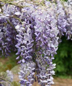 1000 images about glicina on pinterest wisteria wisteria arbor and