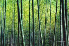 Bosque de bambú. Allposters