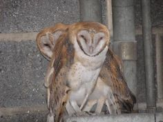 Barn Owls at Fort Jay, Governors Island - December, 2007