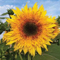 Sunflower Starburst Panache. Hybrid, branching, pollenless