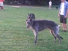 ▶ Scottish deerhound leaping and bounding - YouTube