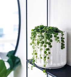How adorable is this little guy! Gotta love the peperomia prostrata : @nordic.jungle