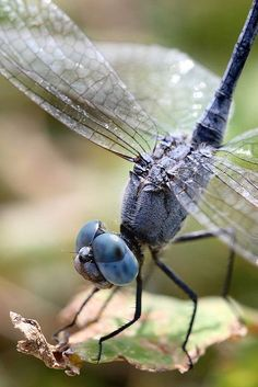 Dragonfly. #Dragonfly. Celebrate dragonflies with Dragonfly jewelry at: http://www.silveranimals.com/dragonfly_jewelry.htm: Blue Dragonfly, Butterflies Dragonflies, Macro, 3 Dragonfly 3, Dragonfly Photography, Butterflies Moths Dragonflies, Libellen Drago