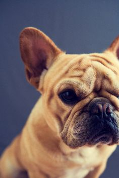 look at that little face :)  french bulldog