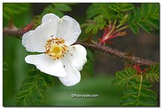 Only four with four petals: a species rose (wild rose) rosa sericea ssp. omeiensis f. pteracanta