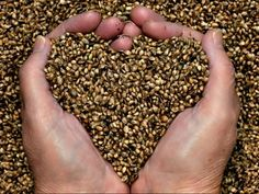Hemp seeds are becoming a very popular superfood among health conscious people. Whether you eat them plain, in cereals, snack bars, shakes or in oil form, they pack a big nutritional punch that should put hemp seeds in everyones diet. Essential Fatty Acids Hemp seeds are made up of 24% protein, include the full range