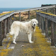 Watch Channel 7 tonight at 7pm. Great story about Oddball - the first Maremma guardian dog to protect little penguins on Middle Island Warrnambool. Also read the story in The Great Ocean Road Sea Breeze and Surf due for release in October. @visitgeelongbellarine @visit12apostles @visitgreatoceanroad #channel7 #greatoceanroad #seabreezeandsurf #warrnambool #leonwalkerphotography #maremma #oddball #maremmadog #flagstaffhill #flagstaffhillmaritimevillage #coastcare #landcare #littlepenguin…