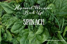 Putting Up Spinach ~ site has a link-up where multiple bloggers are linking up spinach recipes & related posts. Who wants spinach recipes?