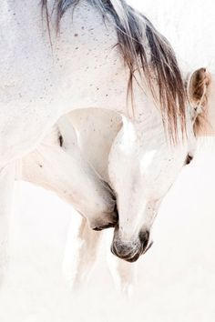 """Araber Berber - Christiane Slawik"" Picture by Christiane Slawik buy now as poster, art print and greeting card. All The Pretty Horses, Beautiful Horses, Animals Beautiful, Simply Beautiful, Animals And Pets, Cute Animals, Majestic Horse, Majestic Animals, Clydesdale"