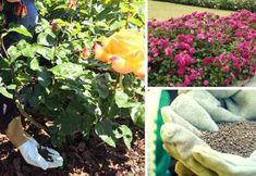 Como preparar abono casero para Rosas y como fertilizar las Rosas Compost, Garden Plants, Garden Landscaping, Perennials, Garden Sculpture, Cactus, Planters, Food And Drink, Landscape