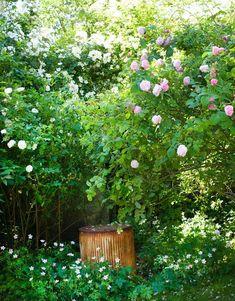 75 sorters gammaldags rosor samsas i trädgården - Sköna hem