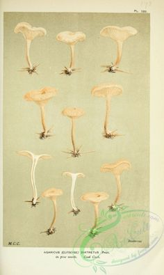 clitocybe diatretus - high resolution image from old book. Victorian Crafts, Plant Illustration, Botany, Printable Art, Digital Scrapbooking, Beautiful Flowers, Flora, Stuffed Mushrooms, Fabric