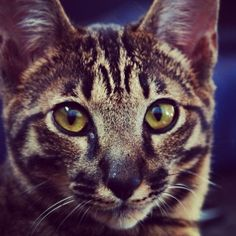 Agu - Savannah cat | VSPETS #cat #kitty #animal