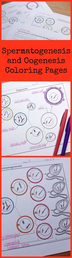 Love these spermatogenesis and oogenesis coloring pages for my high school biology class. Science with Mrs. Lau