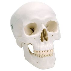 Classic Human Skull - 3 part - Anatomy Models and Anatomical Charts.Our anatomy experts have chosen the best anatomy models and anatomy charts to sell to our customers. If you are looking for an anatomy model or anatomy chart, we are your one-stop shoppin Skull Model, Anatomy Models, Human Skull, Forensics, Scene, Classic, Things To Sell, Multimedia, Charts