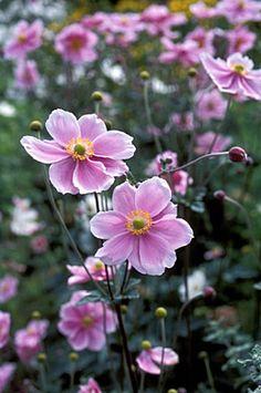 Anemone x hybrida 'Koenigin Charlotte' - japanse anemoon - De herfstanemoon 'Koenigin Charlotte' is een rijke bloeier in de herfsttuin (september-oktober). Het is een sterk groeiende, vertakkende vaste plant met halfgevulde, zuiverroze bloemen met gele meeldraden aan sterke stengels (ca. 80 cm). Prachtig te conbineren met blauwe herfstasters. http://www.groenrijk.nl/GroenEncyclopedie-Anemone-hybrida-Koenigin-Charlotte