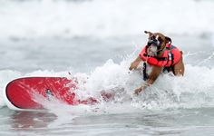 Scenes FromThe 2012 Incredible Surfing Dog Challenge