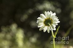 Daisy Light by Belinda Greb #flowerphotography #photography #naturephotography