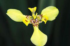 A Íris Amarela e uma herbácea, pertence à família Iridaceae, nativa do Brasil, perene, rizomatosa, ereta, entouceirada, de 60-90 cm de altura e muito .......