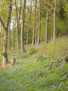 Bluebell Woods, Fownhope