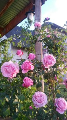 Towering rose. Magic South Africa, Floral Wreath, Houses, Magic, Wreaths, Plants, Home Decor, Homes, Floral Crown