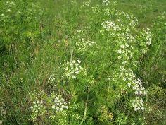 Aspecte general de la cicuta (Conium maculatum)